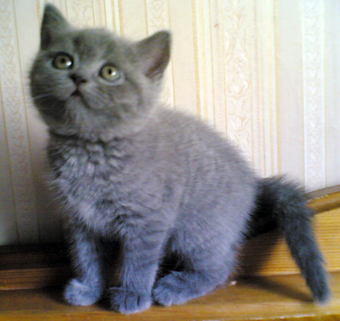 british shorthair kitten - welcome to see!!!