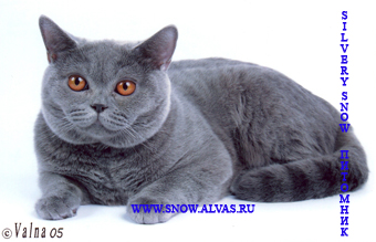 коты британцы голубые фото